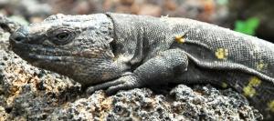 lagarto-gigante-de-el-hierro2